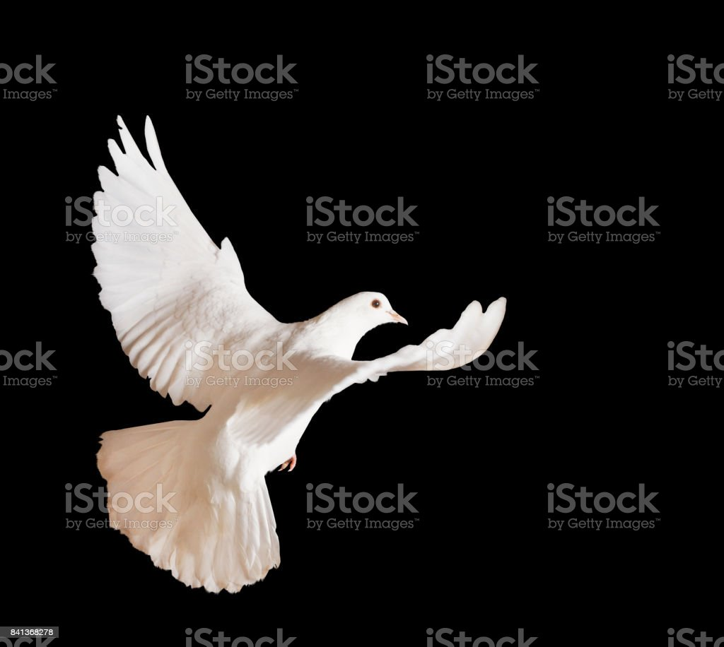 beautiful white pigeon on a black background stock photo