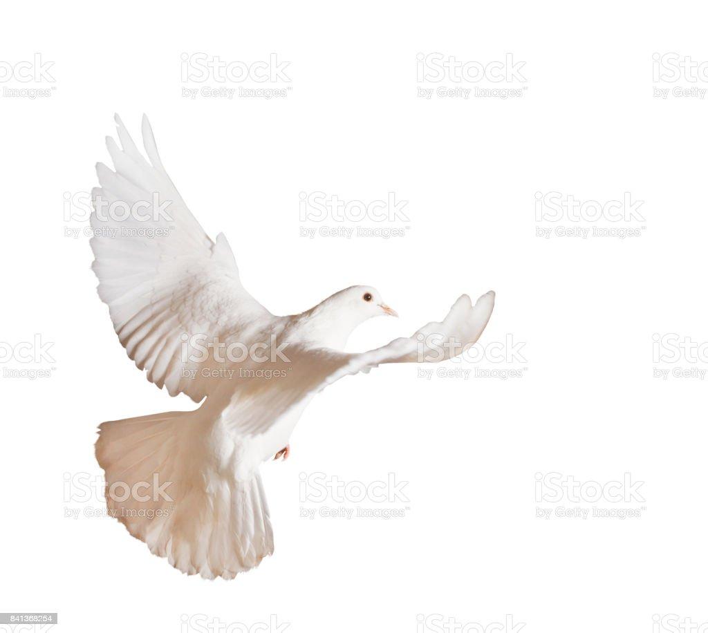 Beautiful white pigeon on a white background stock photo