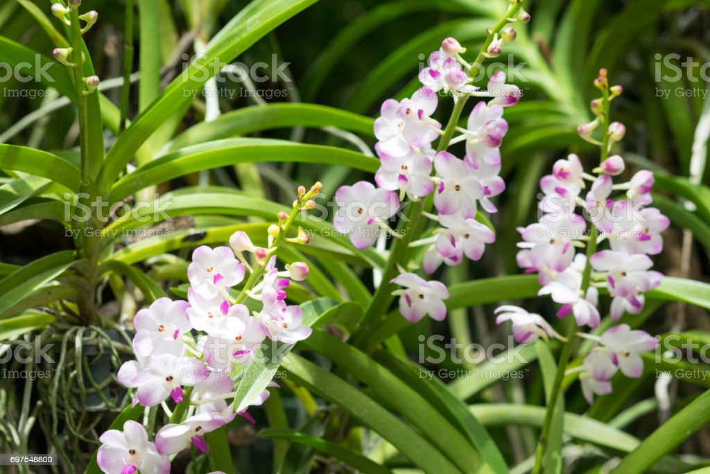 Beautiful white pink orchid flowers with buds in branch. stock photo