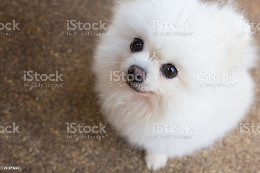 Beautiful White Pomeranian Dog Stock Photo More Pictures Of Animal