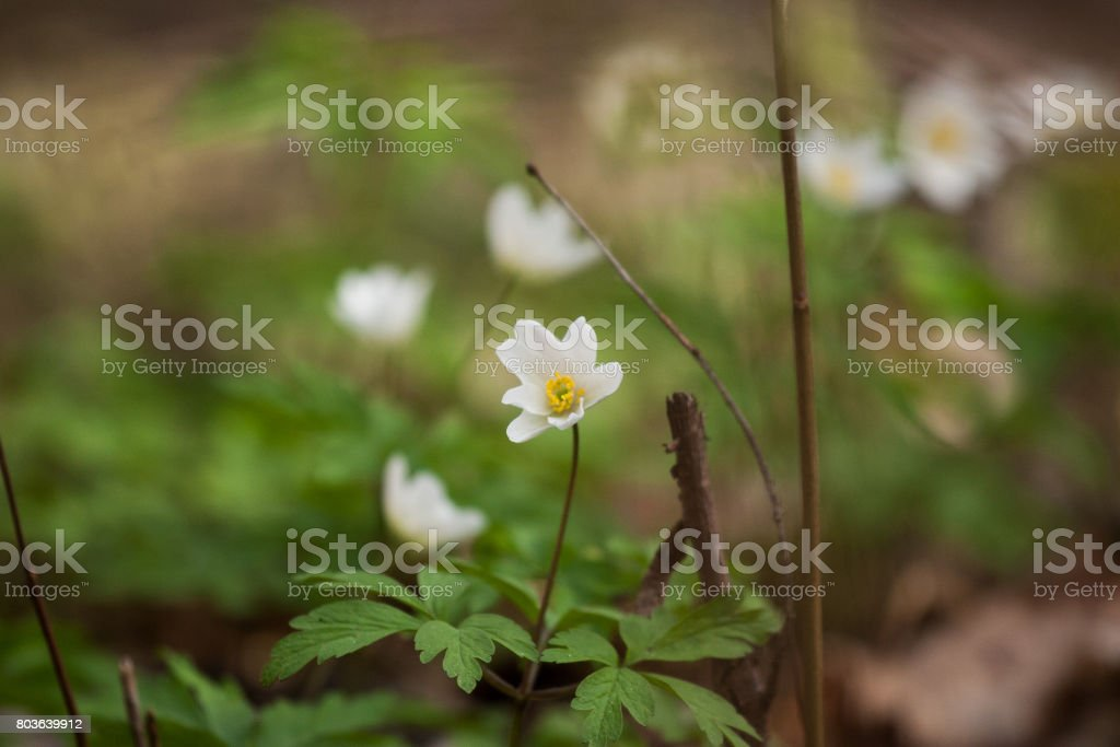 Beautiful white primulas on a natural background in spring stock photo