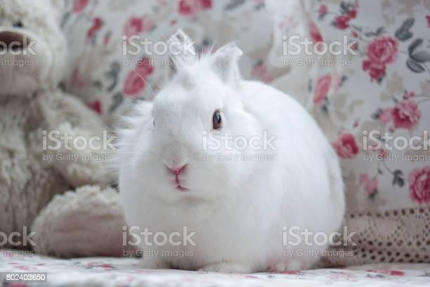 Beautiful white rabbit sits on a soft cushion picture id802403650?b=1&k=6&m=802403650&s=612x612&h=yomdmhi7npe4yjzz7qxhvktxufua5pjloatwkhy f58=