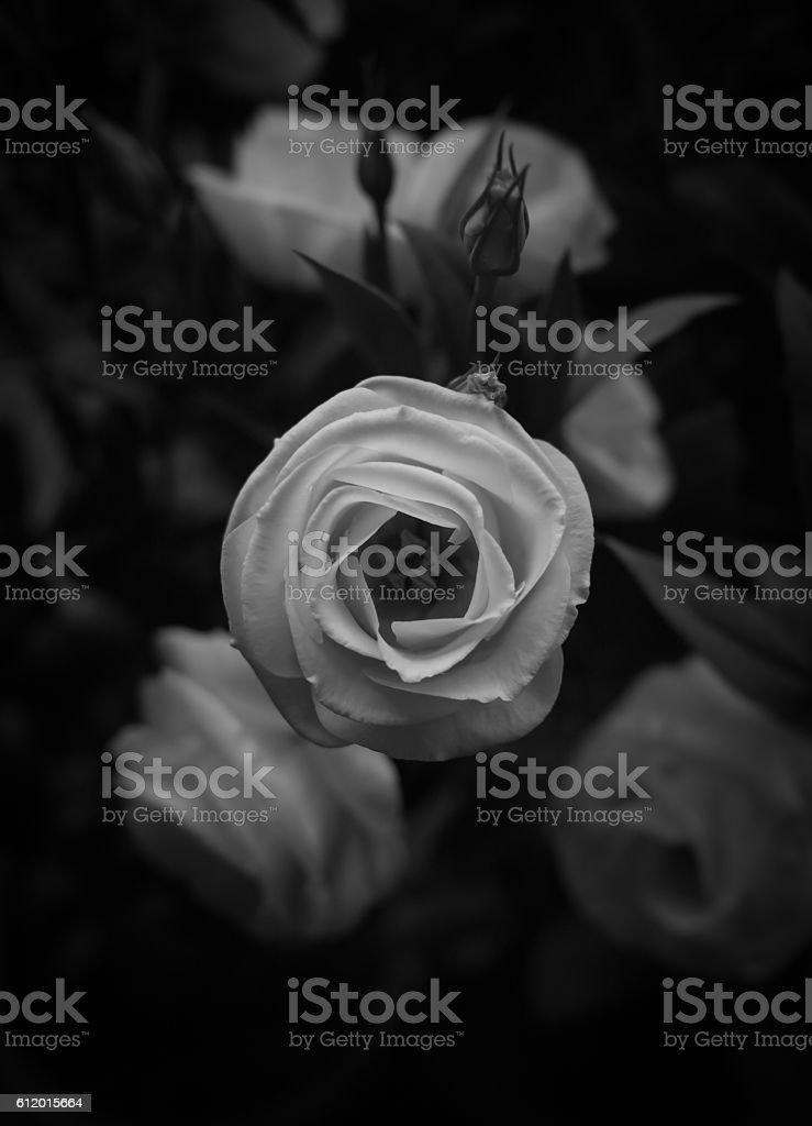Beautiful white rose black and white stock photo