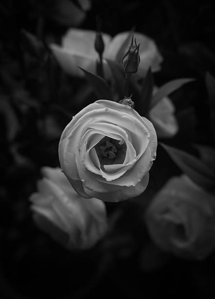 Beautiful white rose black and white stock photo
