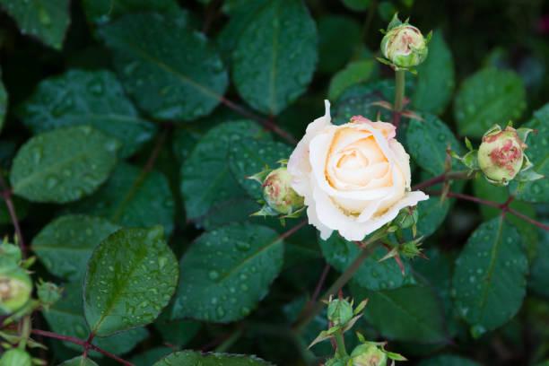 beautiful white rose in the garden with rain drops, selective focus - gradients golden ribbons imagens e fotografias de stock