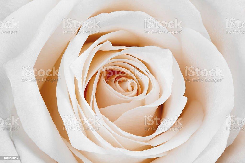 Beautiful white rose. royalty-free stock photo