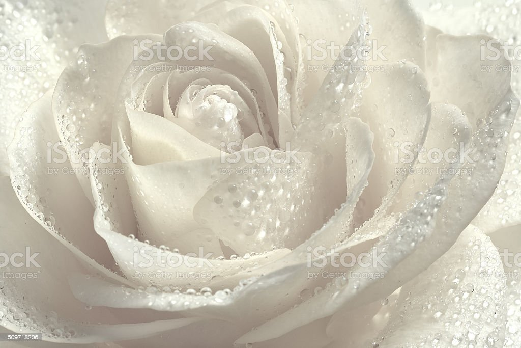 Beautiful white rose. stock photo