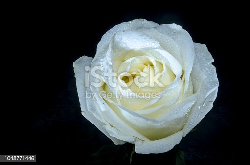 612015846 istock photo Beautiful white rose with drops of dew, on black background. 1048771446