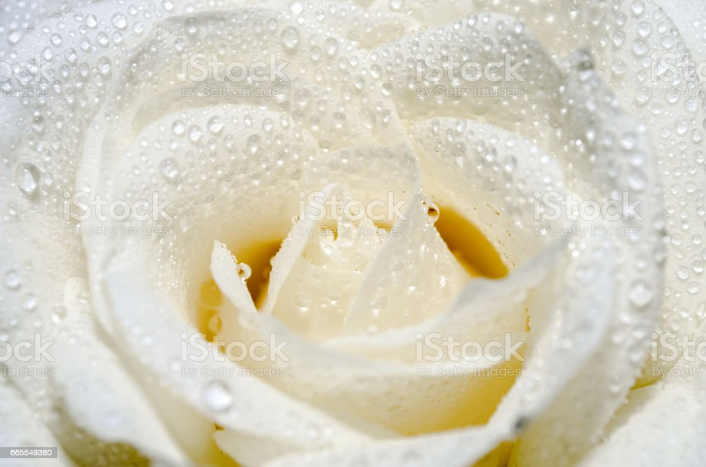 Beautiful White Rose With Water Drops Royalty Free Stock Photo