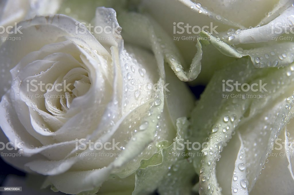 Beautiful white roses for wedding royalty-free stock photo