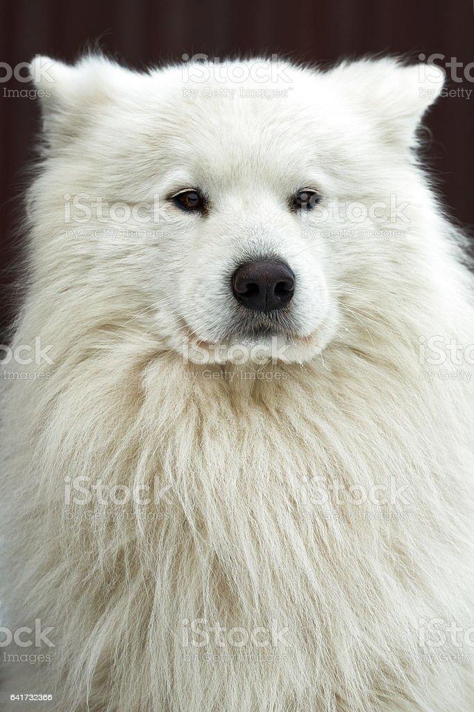 Beautiful white Samoyed dog breed, dog outdoors stock photo
