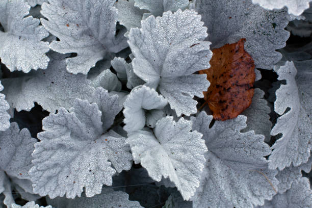 Beautiful white silver leaves of Cineraria with dew drops stock photo