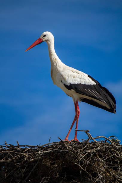 beautiful white stork bird on the nest - bocian zdjęcia i obrazy z banku zdjęć