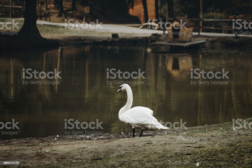 Beautiful white swan bird standing near pond in national wildlife park, swan lake with a wooden house in a countryside village, tranquil scene, purity concept zbiór zdjęć royalty-free