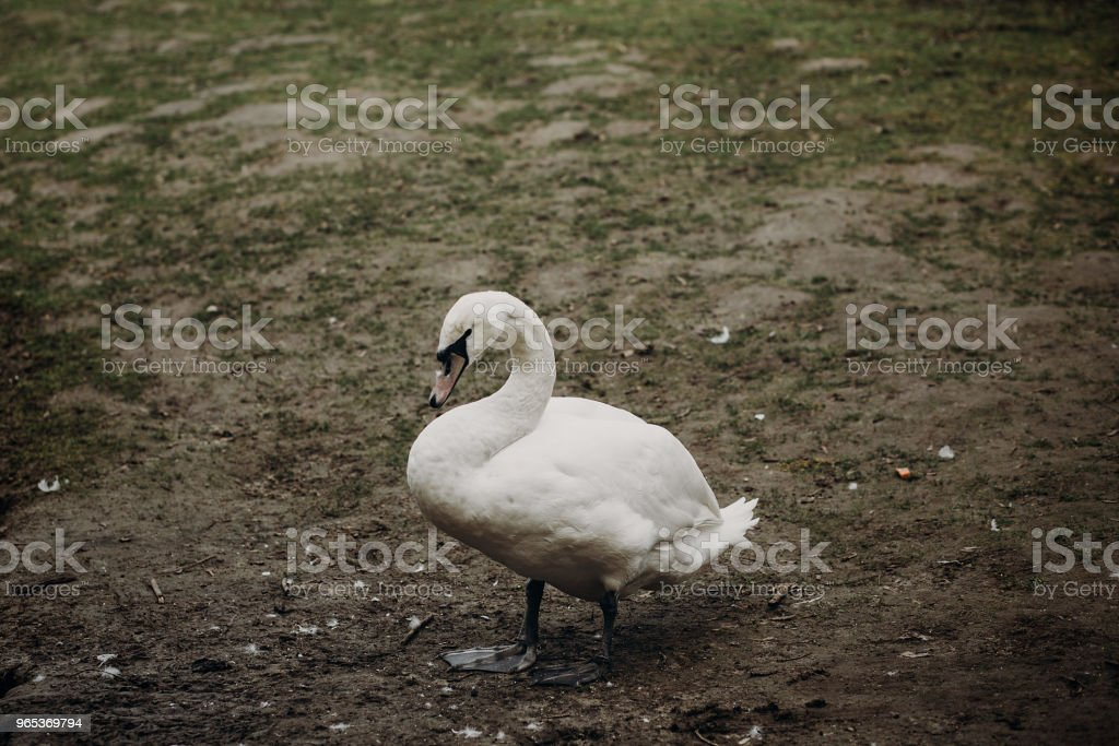 Beautiful white swan bird standing on the ground in autumn, elegant swan animal surrounded by nature close-up, ugly duckling concept royalty-free stock photo