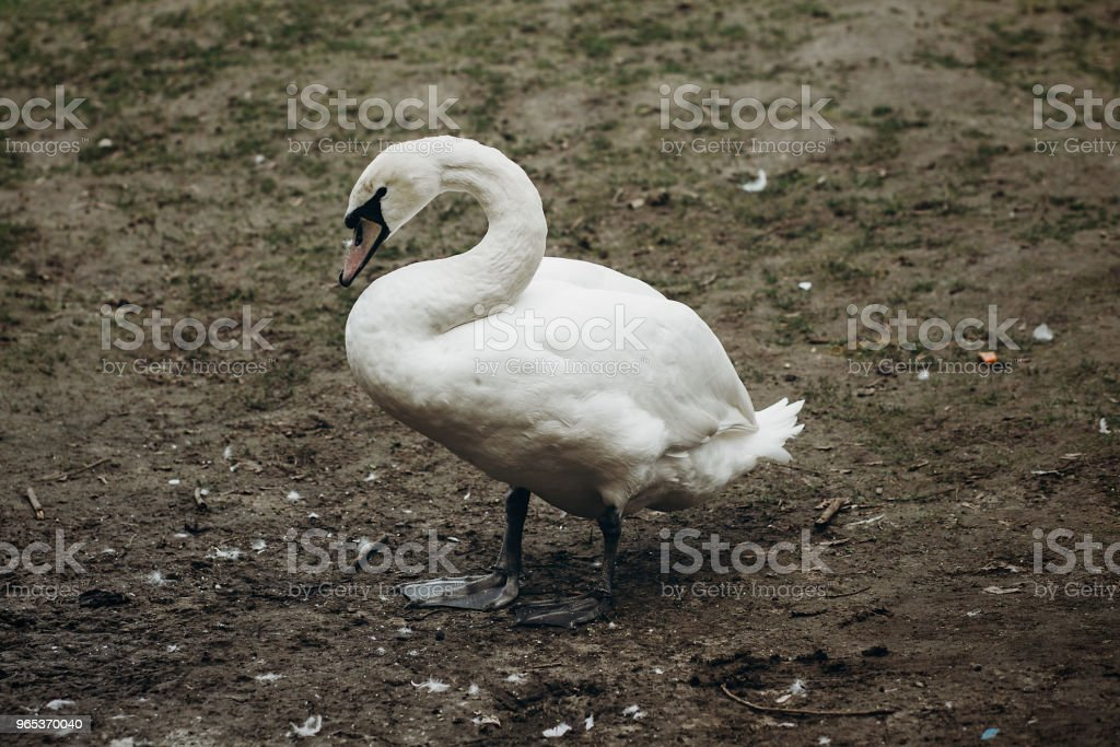 Beautiful white swan bird standing on the ground in autumn, elegant swan animal surrounded by nature close-up, ugly duckling concept zbiór zdjęć royalty-free