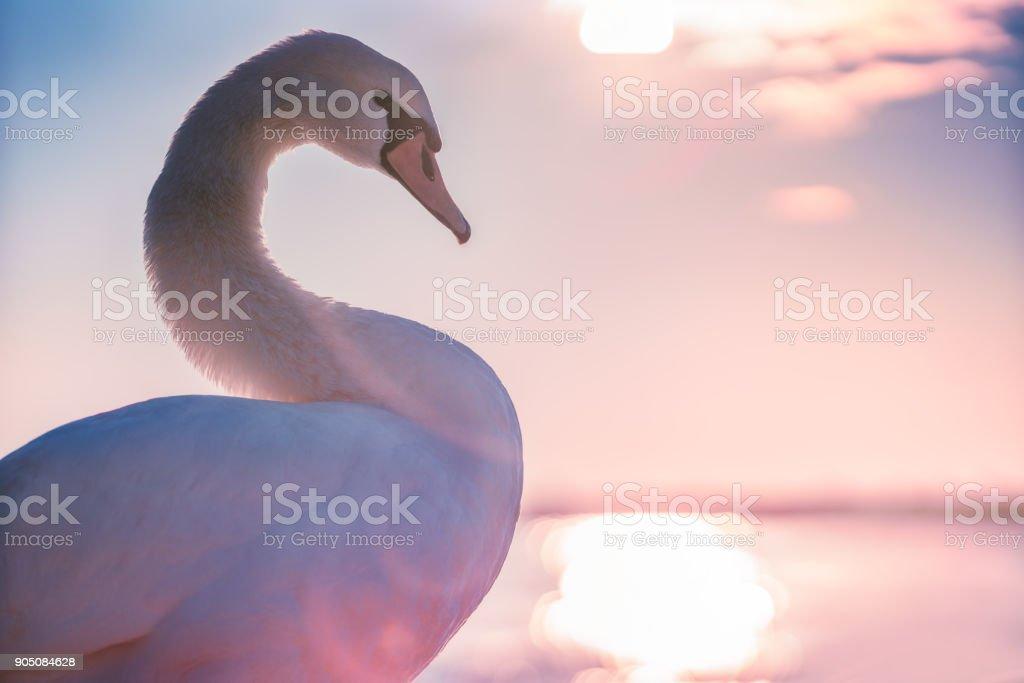 Beautiful white swan in the sea,sunrise shot stock photo