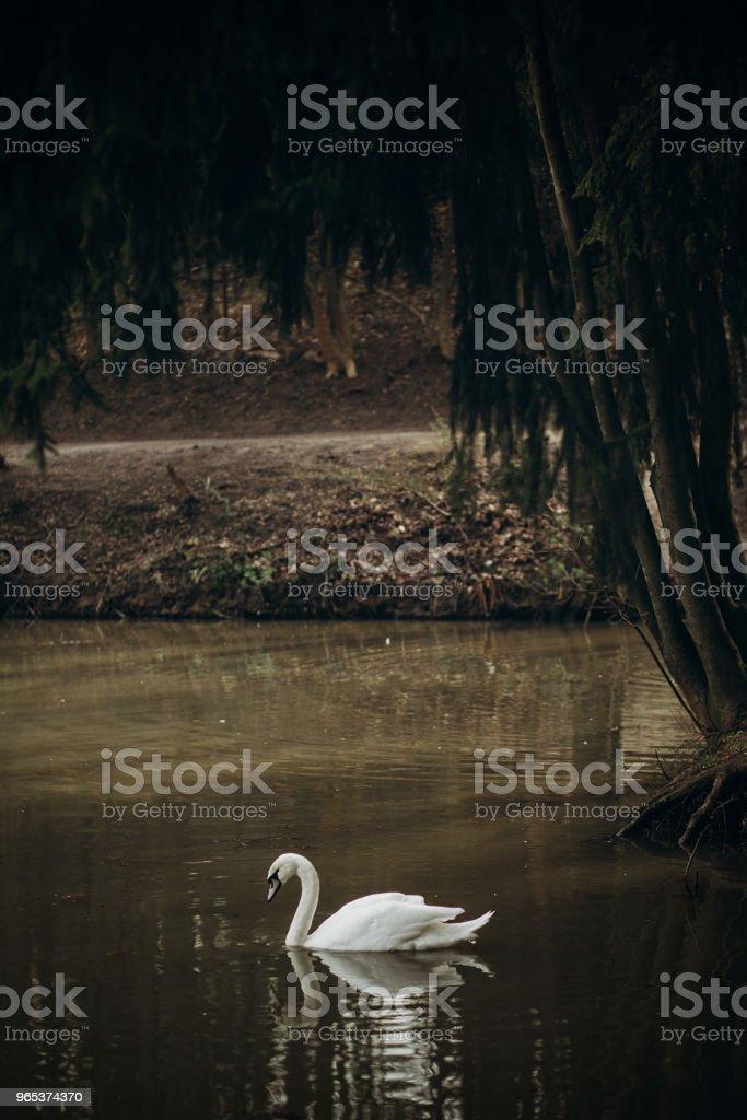 Piscine de beau cygne blanc dans un étang au britannique d'animaux sauvages, oiseaux Cygne dans village rural - réflexion de l'eau, symbole de l'amour et la loyauté - Photo de Amour libre de droits