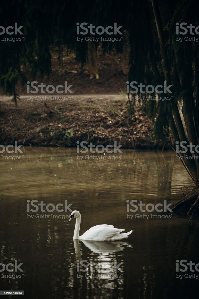 Beautiful white swan swimming in a pond at British wildlife park, swan bird in rural village - water reflection, symbol of love and loyalty zbiór zdjęć royalty-free