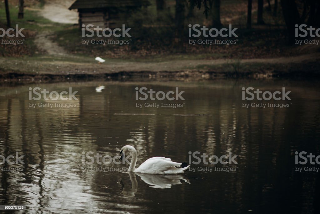 Beautiful white swan swimming in a pond at British wildlife park, swan bird in rural village - water reflection, symbol of love and loyalty royalty-free stock photo