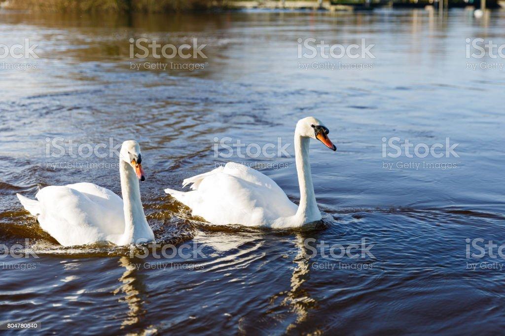 Beautiful white swans stock photo