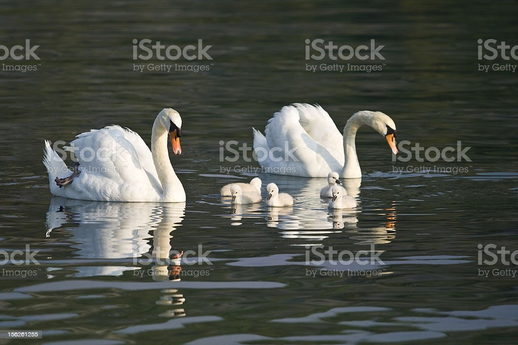 Beautiful white swans with their nestling royalty-free stock photo