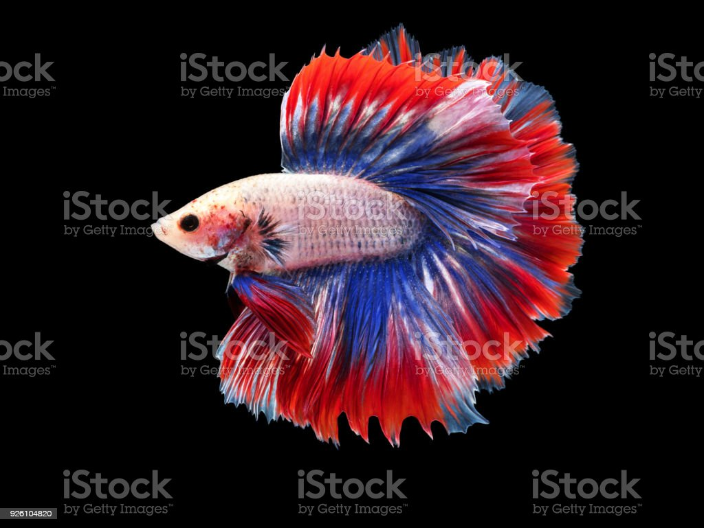 Beautiful White Thai Fighting Fish Swimming With Long Fins And Red ...