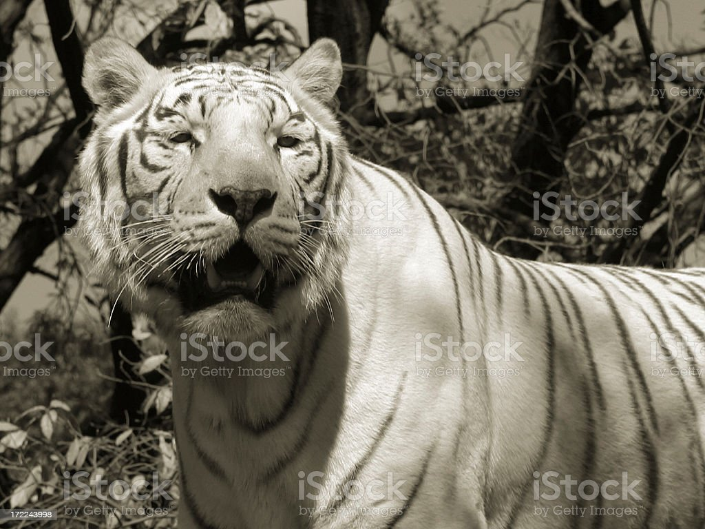 Beautiful white tiger royalty-free stock photo