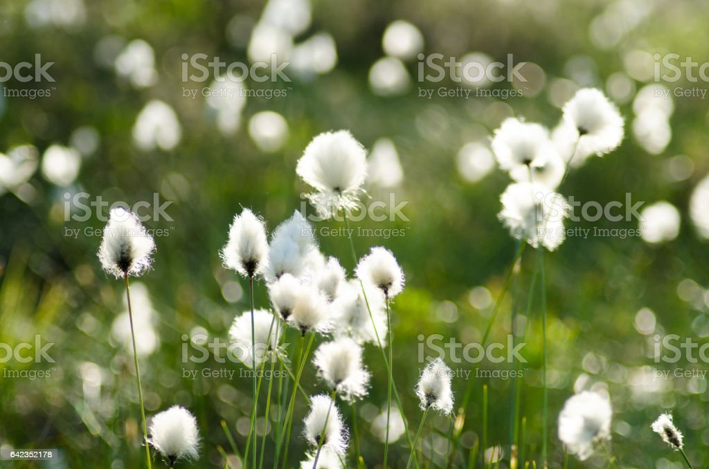 beautiful white tufts in marsh landscape. Eriophorum vaginatum stock photo