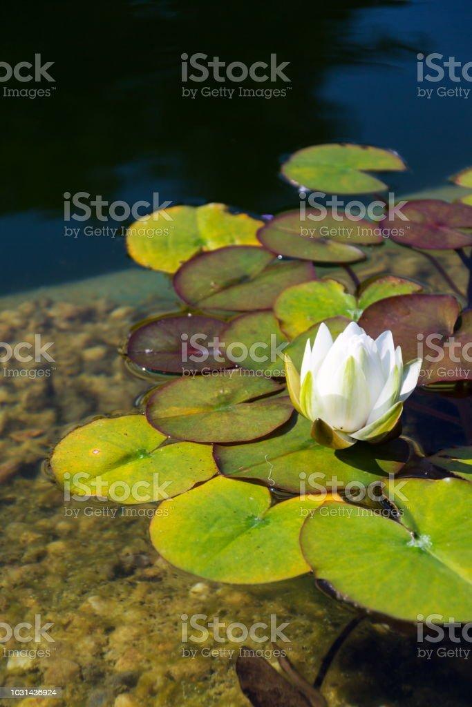 Wildwasser-schöne Lilie Blüte, Naturbad, Entspannung meditation – Foto