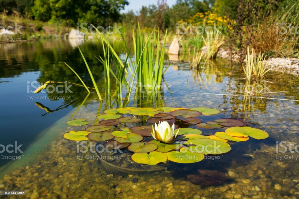 Beautiful White Water Lily Bloom Natural Swimming Pool Relaxation Meditation Stock Photo Download Image Now Istock