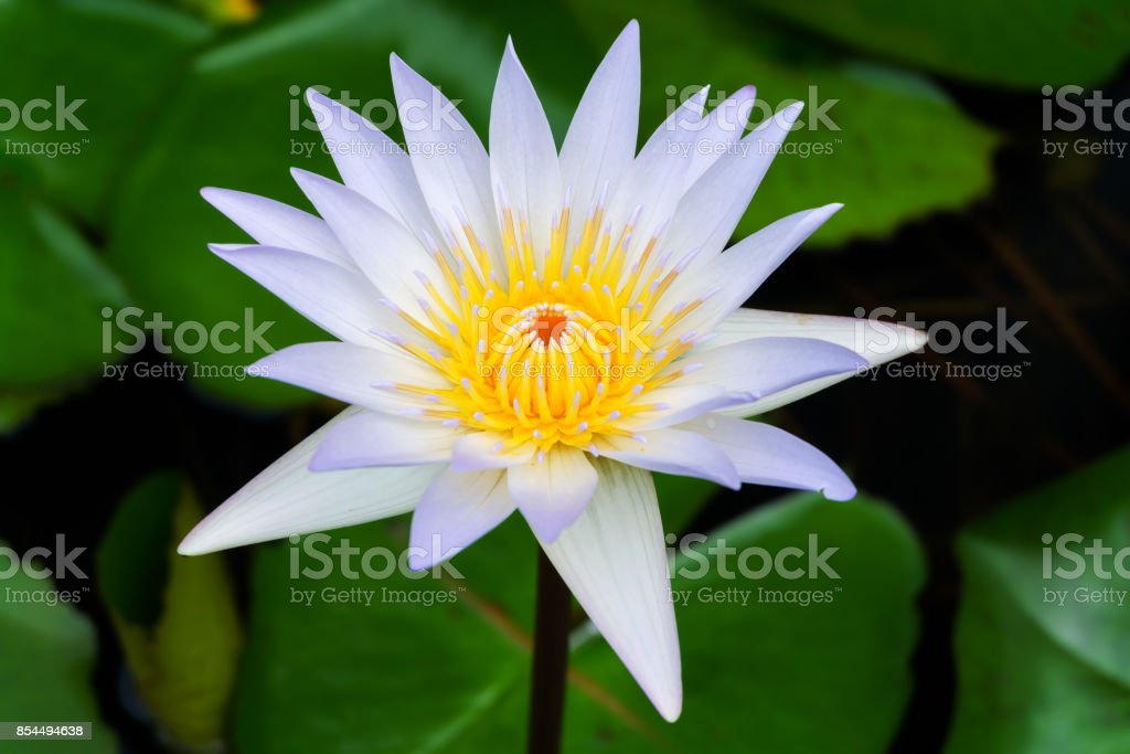A beautiful white waterlily or lotus flower in pond stock photo a beautiful white waterlily or lotus flower in pond royalty free stock photo mightylinksfo