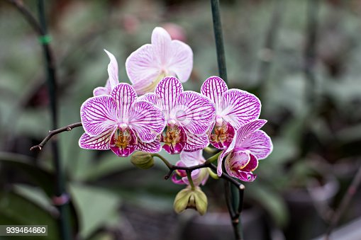 Beautiful white-pink orchid