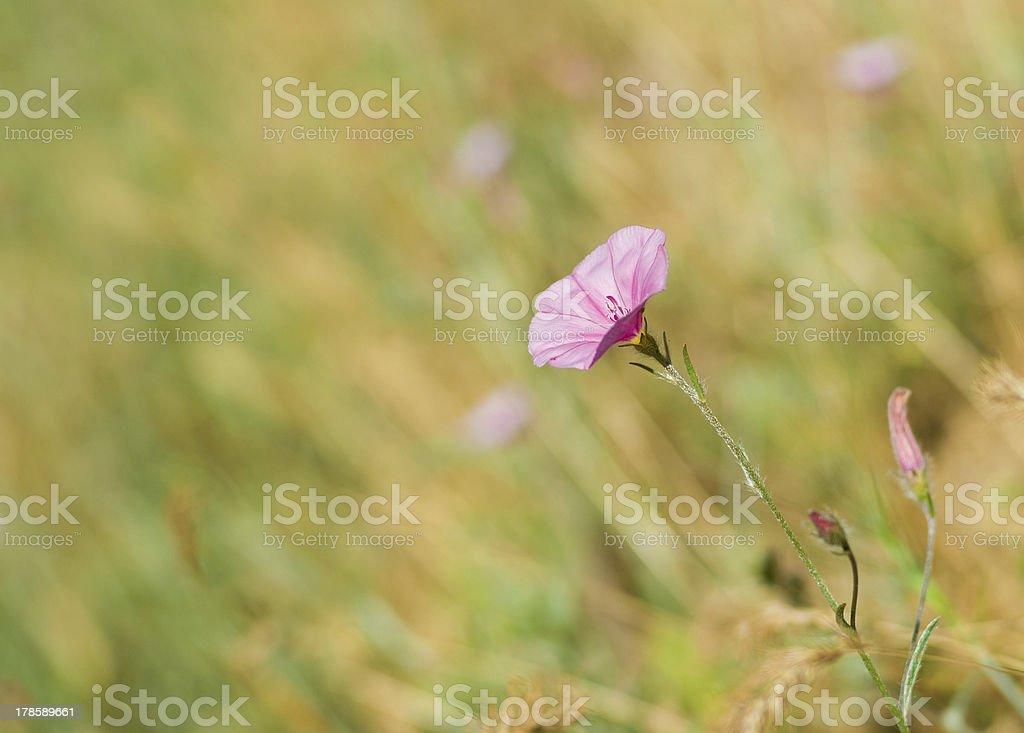 Beautiful wild bellflower royalty-free stock photo
