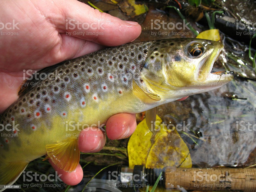 Beautiful Wild Brown Trout stock photo