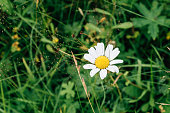 Beautiful wild camomile flowers. Blooming meadow with organic medicinal herbs