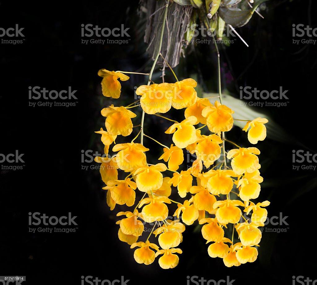 Beautiful Wild Flower Orchiddendrobium Lindleyi Steud Rare Spe Stock