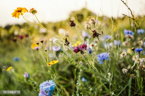 Beautiful wild flowers in a meadow