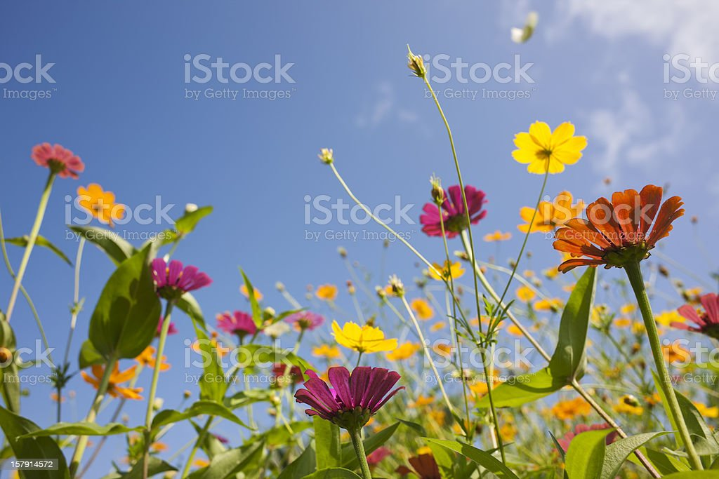 Beautiful wild flowers in a meadow. royalty-free stock photo