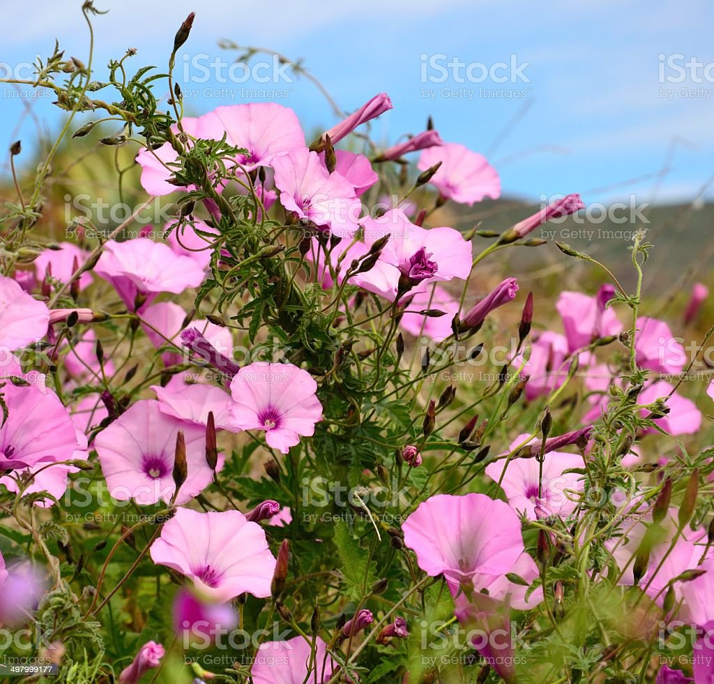 Beautiful wild flowers ipomoea in the meadow stock photo