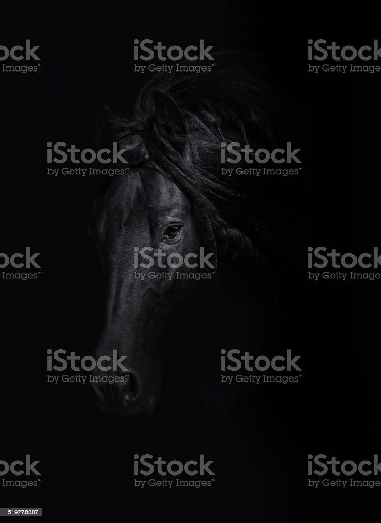 beautiful wild friesian horse stallion in black background stock photo