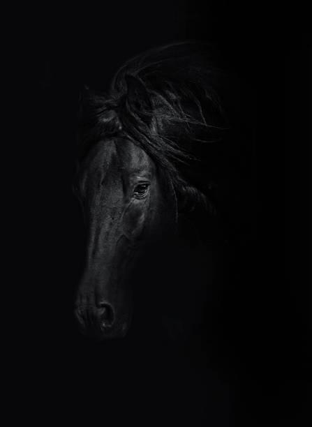 beautiful wild friesian horse stallion in black background - 種馬 個照片及圖片檔