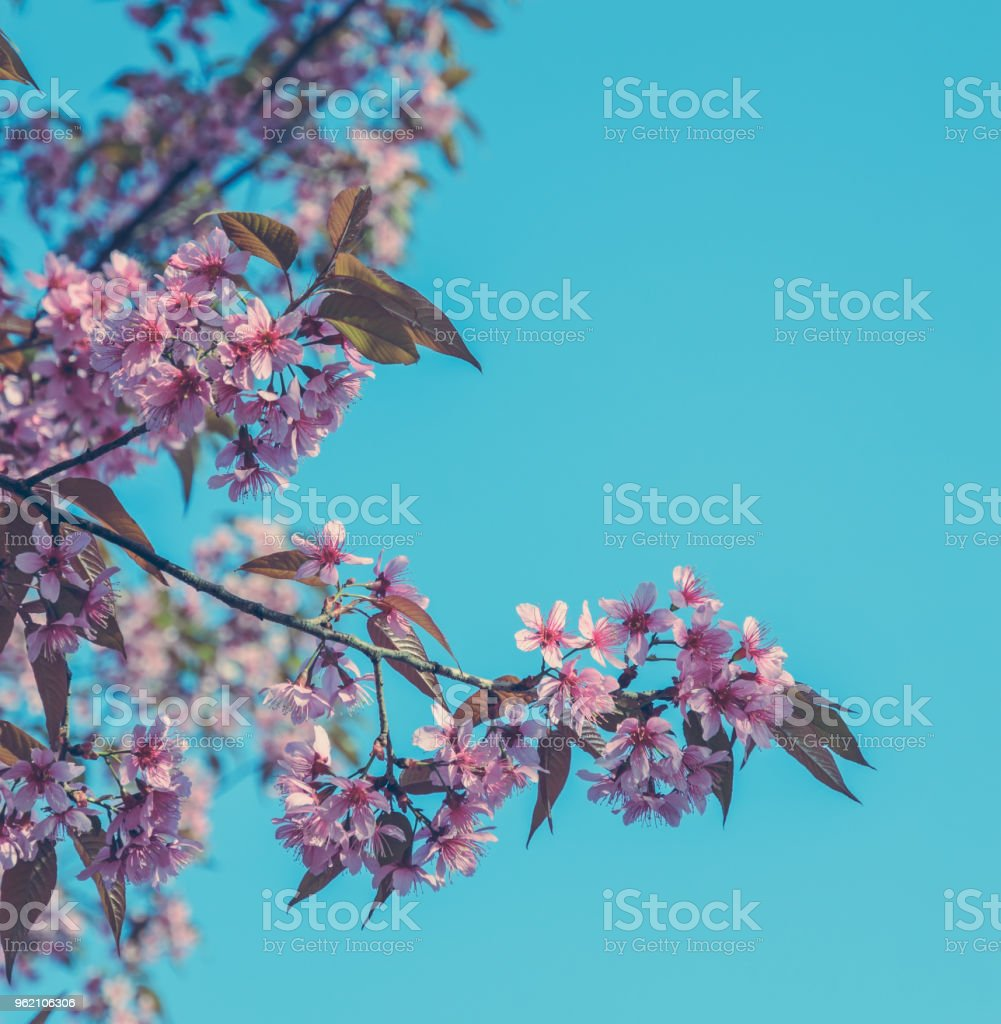 Beautiful Wild Himalayan Cherry Blossom In Spring Over Blue Sky ...