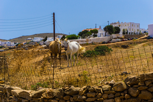 Beautiful Wild Horses Grazing In Cycladic Island Of Kythnos In Greece Stock Photo - Download Image Now