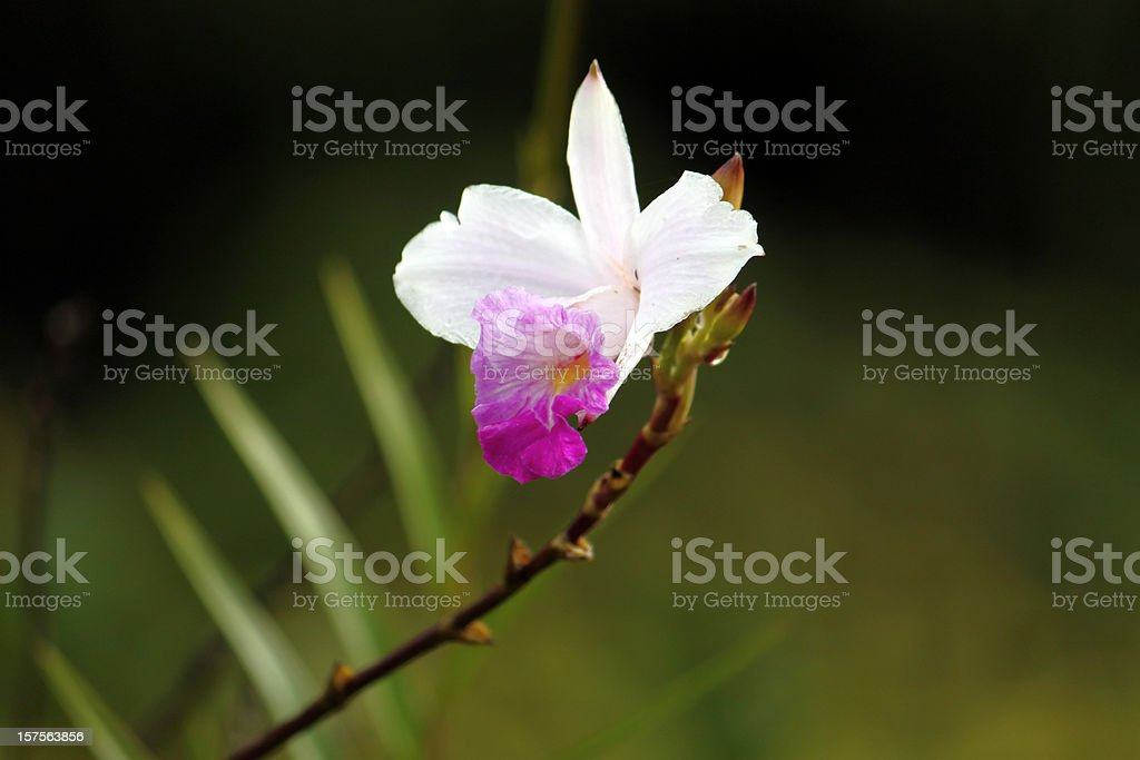 Beautiful Wild Orchid Close Up stock photo