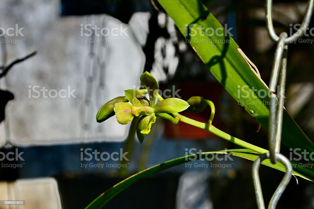 Beautiful wild orchid royalty-free stock photo