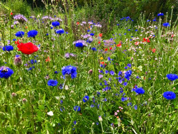Beautiful wildflower meadow picture id1165942493?b=1&k=6&m=1165942493&s=612x612&w=0&h=qvrx1zemejcupsxenncjziu0 aimcsrvrcv340yykcs=
