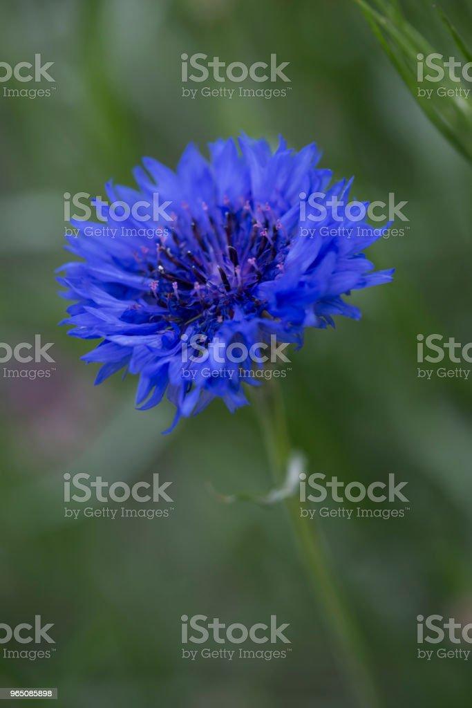 Beautiful wildflowers cornflowers. selective focus royalty-free stock photo