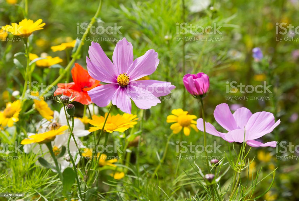 Beautiful wildflowers growing in a meadow stock photo