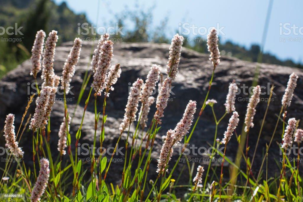 Beautiful Wildflowers in a mountain meadow. Actaea stock photo